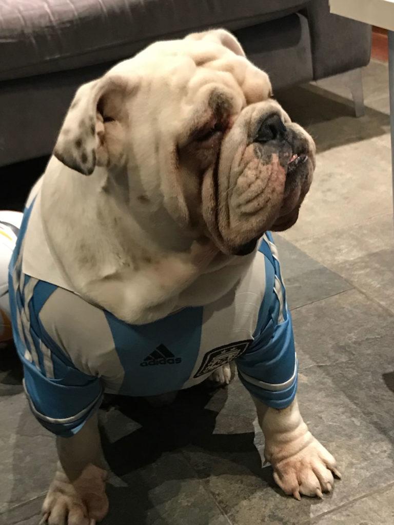 bulldog ingles con remera Argentina