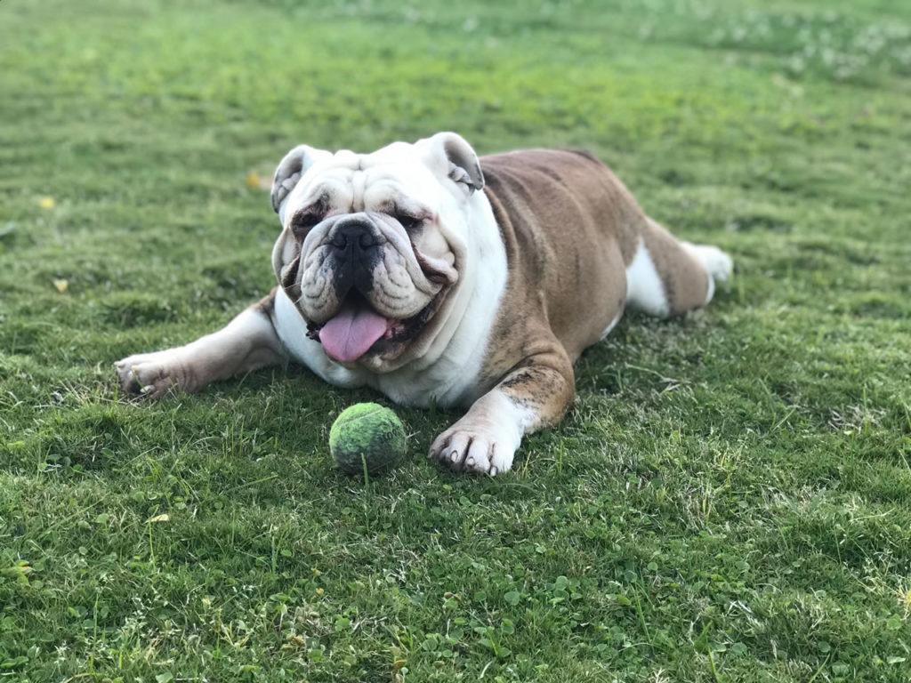 bulldog ingles jugueton