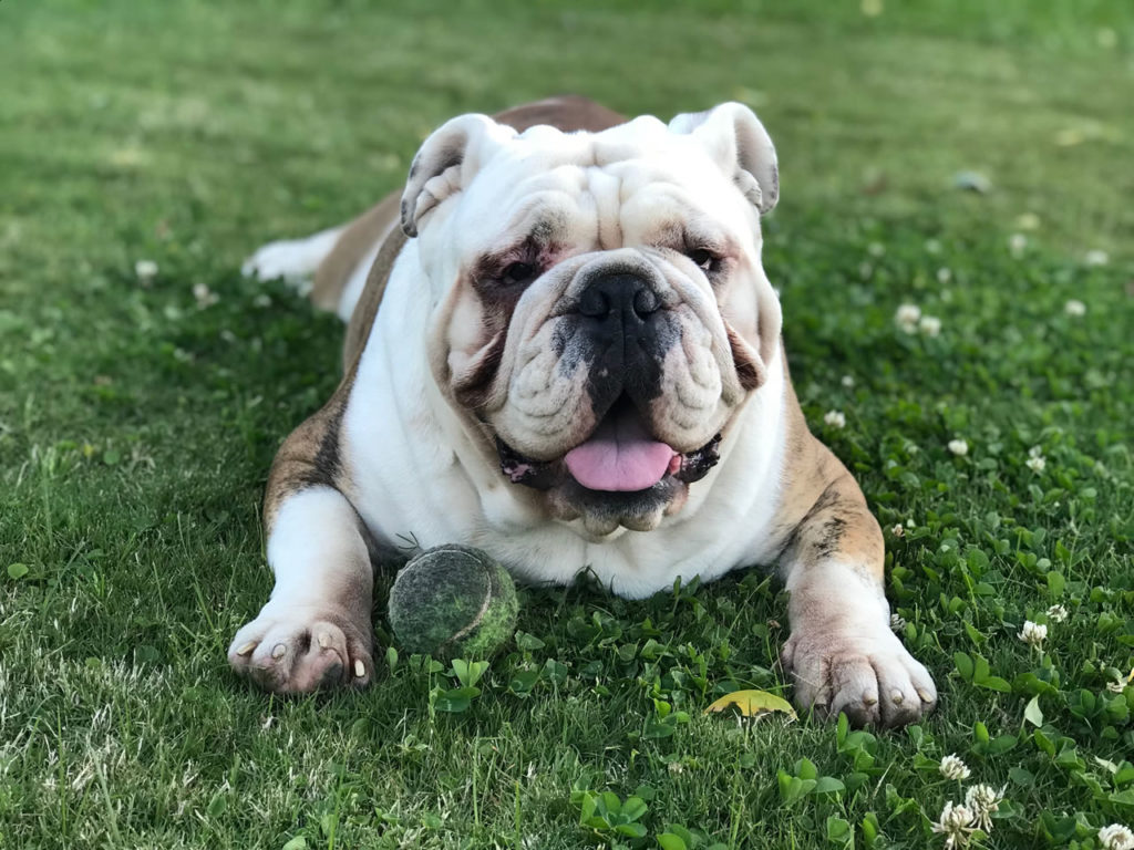 bulldog ingles jugando con pelota