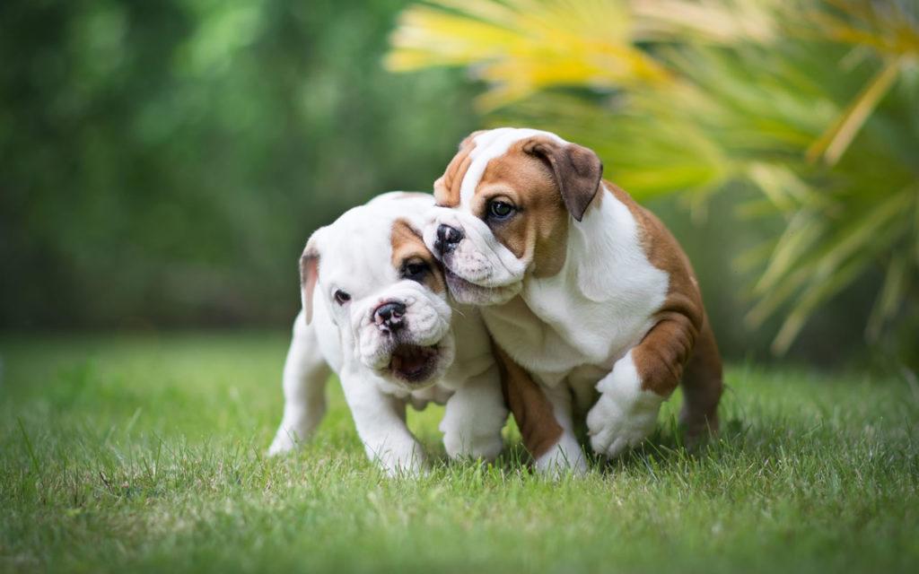 cachorros de bulldog ingles